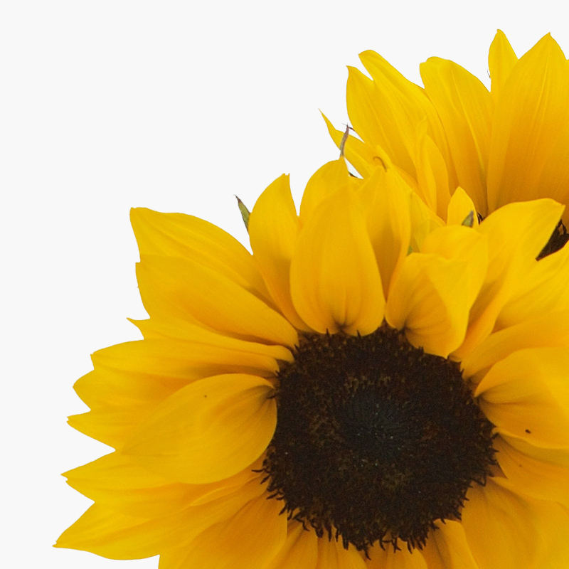 thumbs_our-flowers_Sunflowers.jpg