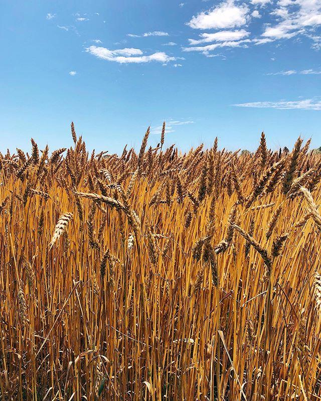 ¿De dónde viene lo que comemos? . Las frutas y verduras orgánicas reciben mucha atención, pero los cereales son la mayoría de la tierra cultivada en el mundo. El trigo, el maíz, el arroz, la soya son los ingredientes principales de muchas de las cosas que comemos todos los días, y son entre los productos que más se importan y exportan entre países. Cómo y dónde se cultivan es importante. . Ayer estuve conociendo una finca en Illinois rural que cultiva diferentes variedades de trigo usando prácticas orgánicas. Tiene su propia operación de molinos de piedra para hacer la harina de manera tradicional, que luego distribuyen alrededor de Chicago. El molino lo abrieron para generarle más valor agregado a sus cereales. Procesan, también, trigo de fincas vecinas, y el dueño, además, asesora a otras fincas de cereales en la transición a prácticas orgánicas. . Un ejemplo lindo de piezas de sistemas alimentarios regionales y sostenibles.