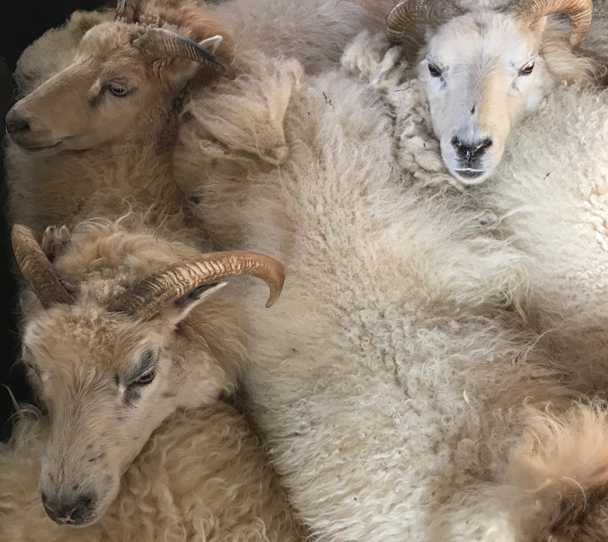 Sheep like tight quarters. Photo by  Ali