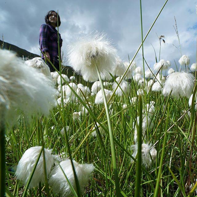 Cotton grass is as soft as it looks. Icelandic plants are amazing. . .. . #discoveringthemuch #exploringtheglobe #folkscenery #followmeto #iceland #getaway #ilovetravel #instapassport #mytinyatlas #passionpassport #planetdiscovery #plantlife #postcardsfromtheworld #realfolklife #roamtheplanet #theglobewanderer #travel #traveldeeper #travellove #travelpic #travelwriter #wanderer #worldtravel #dametraveler #sheadventures #sheisnotlost #shetravels #naturelover #nature_seekers #optoutside