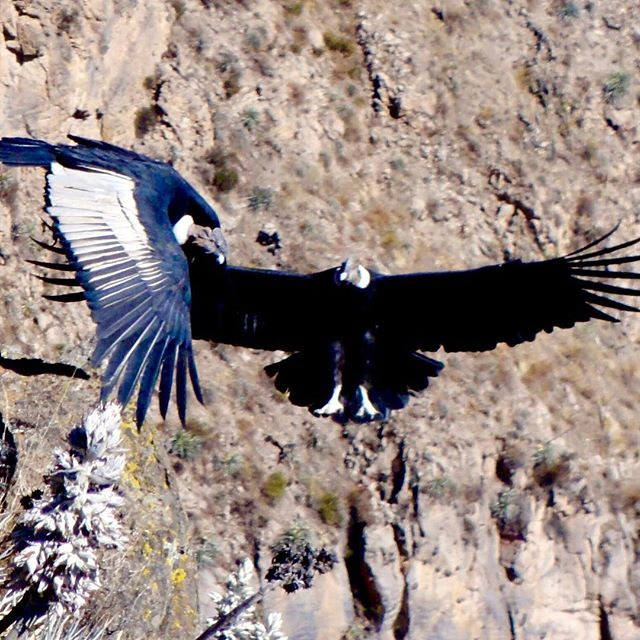 The carnivorous Andean Condor is not particularly attractive, but he manages to be majestic anyway. With a wingspan up to 10.5 feet, these birds are particularly graceful when soaring. . .. . #discoveringthemuch #discoverychannel #exploringtheglobe #folkscenery #followmeto #getaway #igtravel #instapassport #mytinyatlas #passionpassport #planetdiscovery #postcardsfromtheworld #realfolklife #theglobewanderer #travel #traveldeeper #traveler #travelpic #travelwriter #worldtravel  #dametraveler #girlvsglobe #sheadventures #sheisnotlost #shetravels  #animals #animalplanet #naturelover #nature_seekers #optoutside
