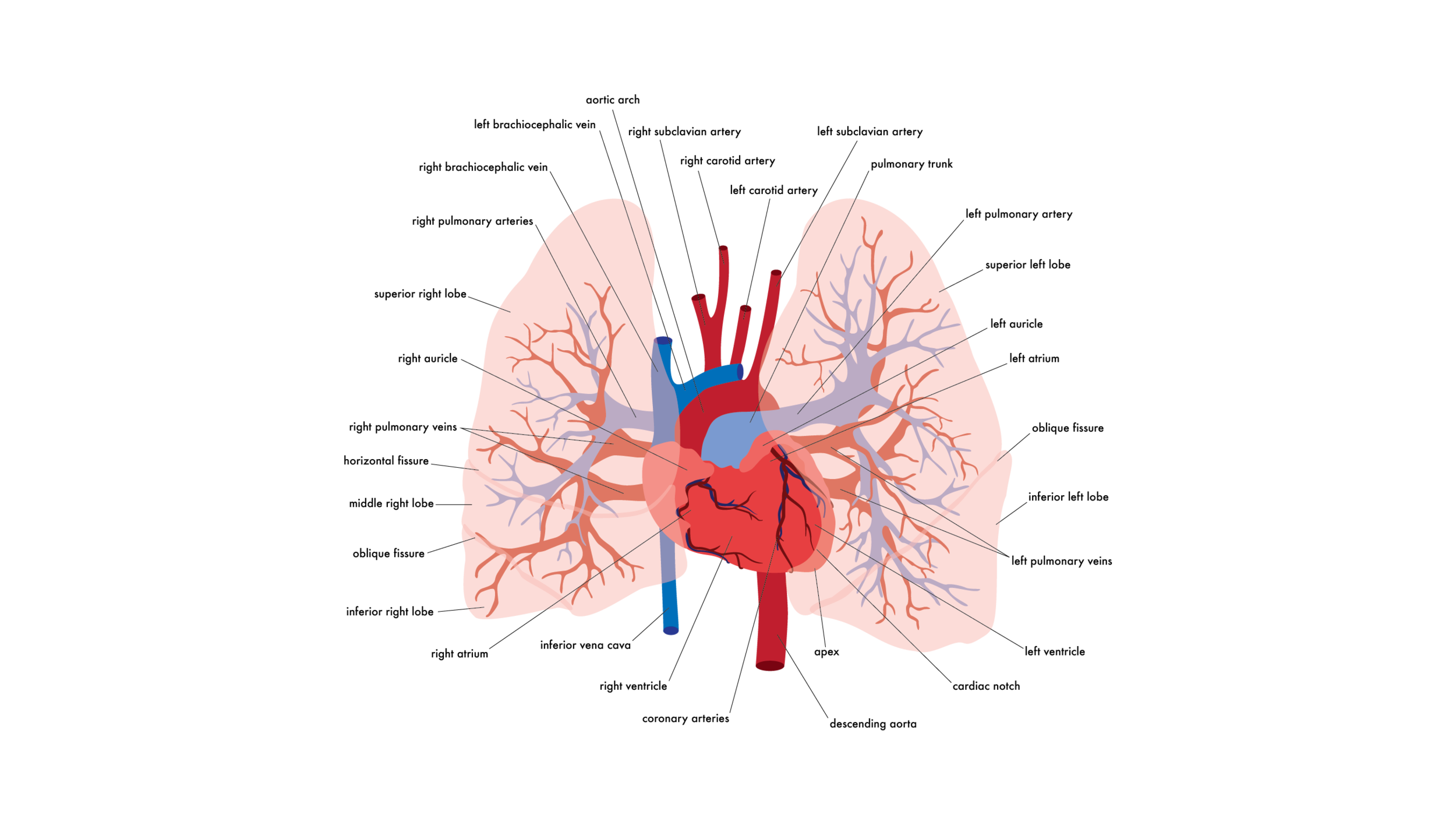 heart & lungs-11x14 for print-portfolio-02.png