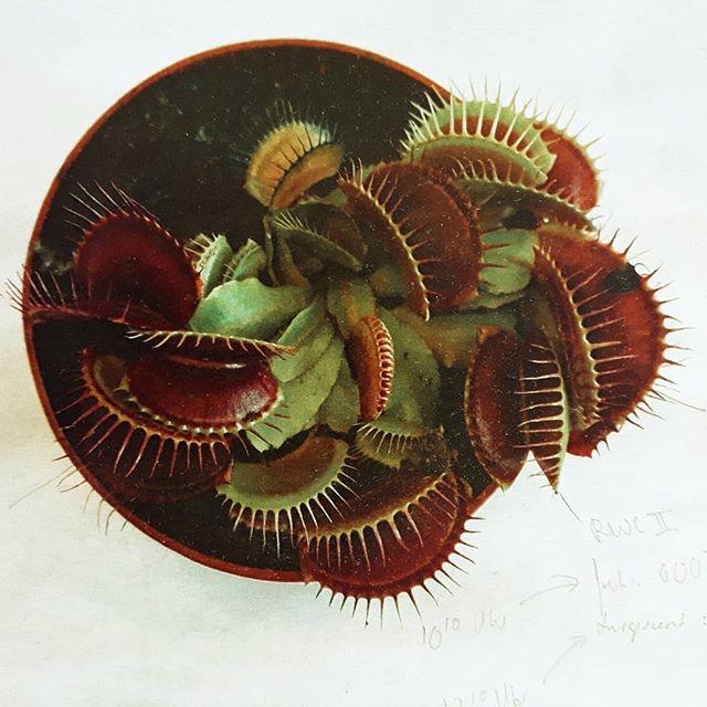 #dionaeamuscipula #carnivorous #plant #beauty  #childhoodmemories
