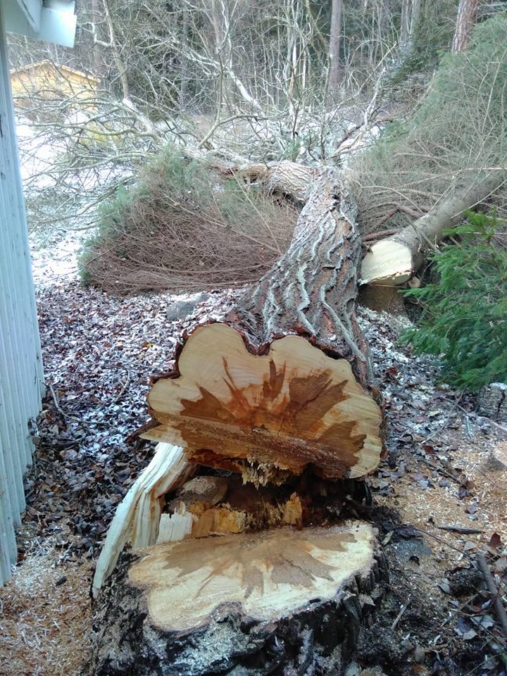 Träd fällt med precision
