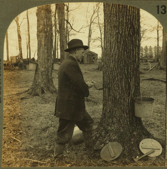 Tapping a sugar maple, ca. 1905.