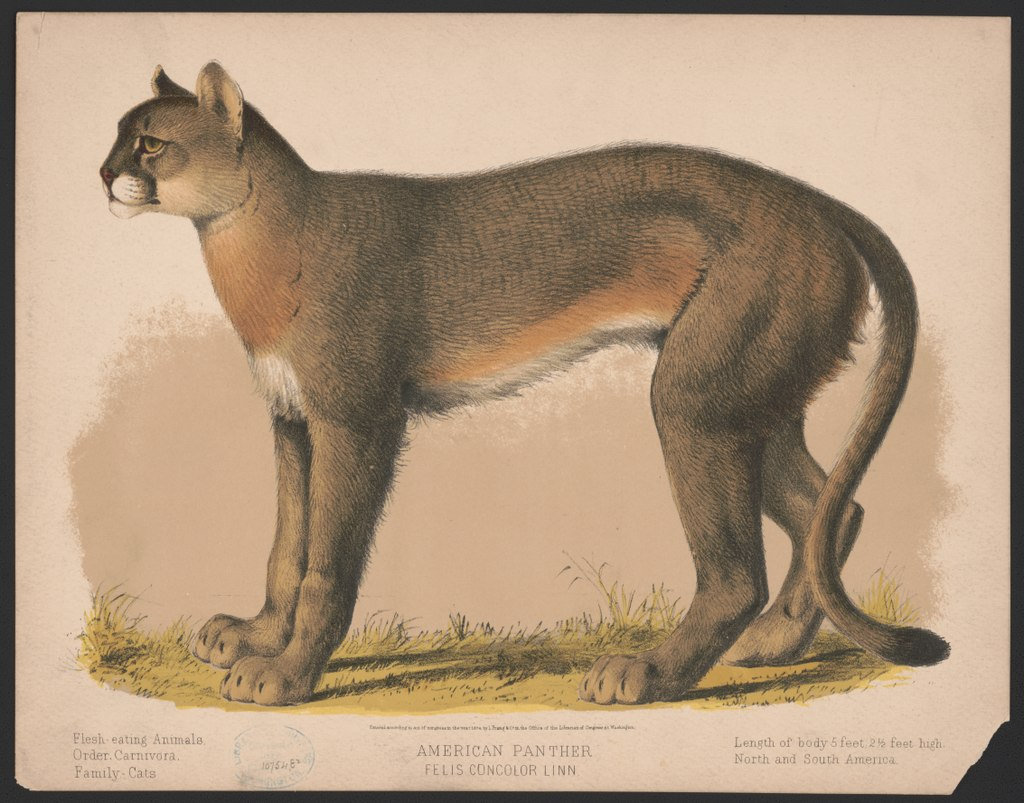 lossy-page1-1024px-American_panther_-_Felis_concolor_linn_LCCN2017660719.tif.jpg