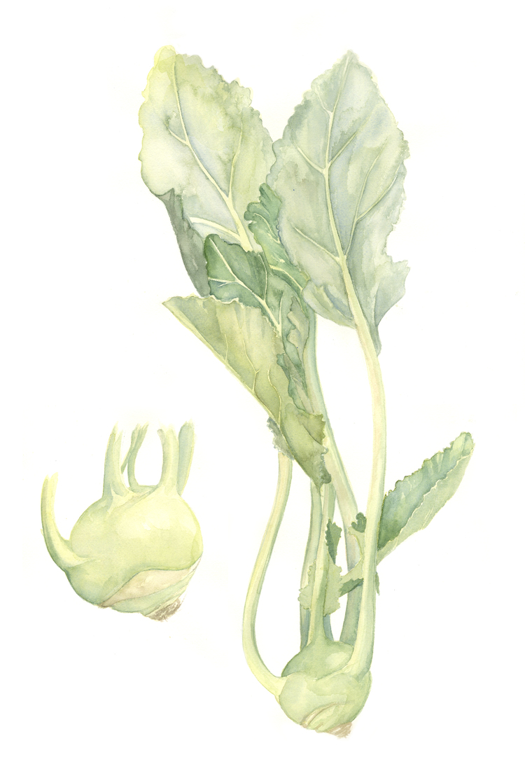 StemAndFullKohlrabi_Watercolour.jpg