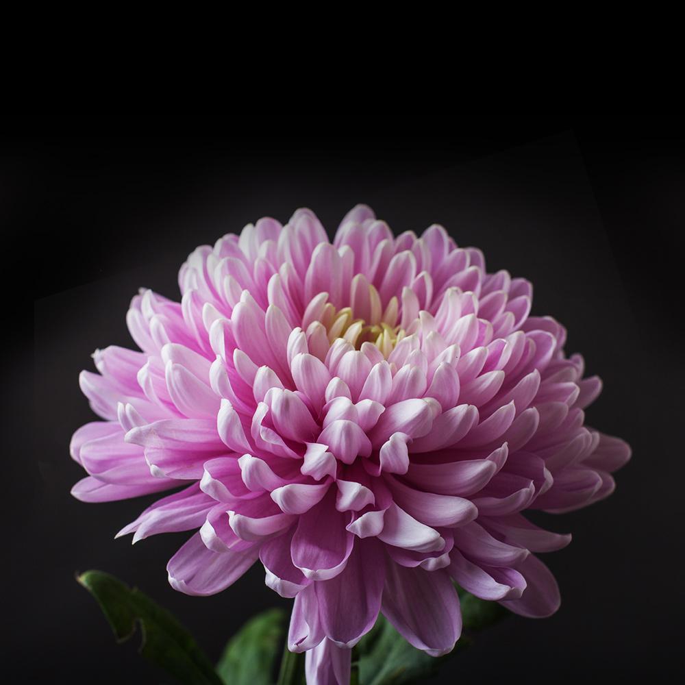 Chrysanthemum -