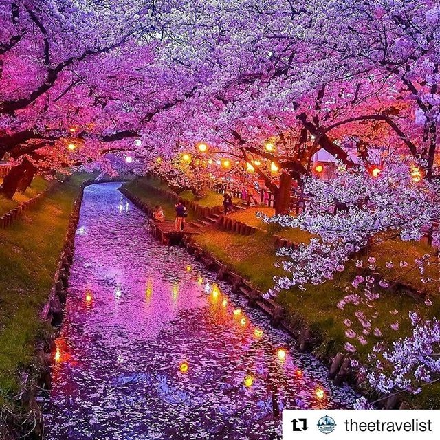 #Repost @theetravelist (@get_repost) ・・・ Cherry Blossoms in Japan! Any comment? 😍🌸🇯🇵 #japan #cherryblossom #travel . . . #art #photography