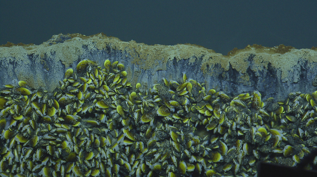 chemosynthetic mussels edge of brine pool Credit Ocean Exploration Trust_cropped.jpg
