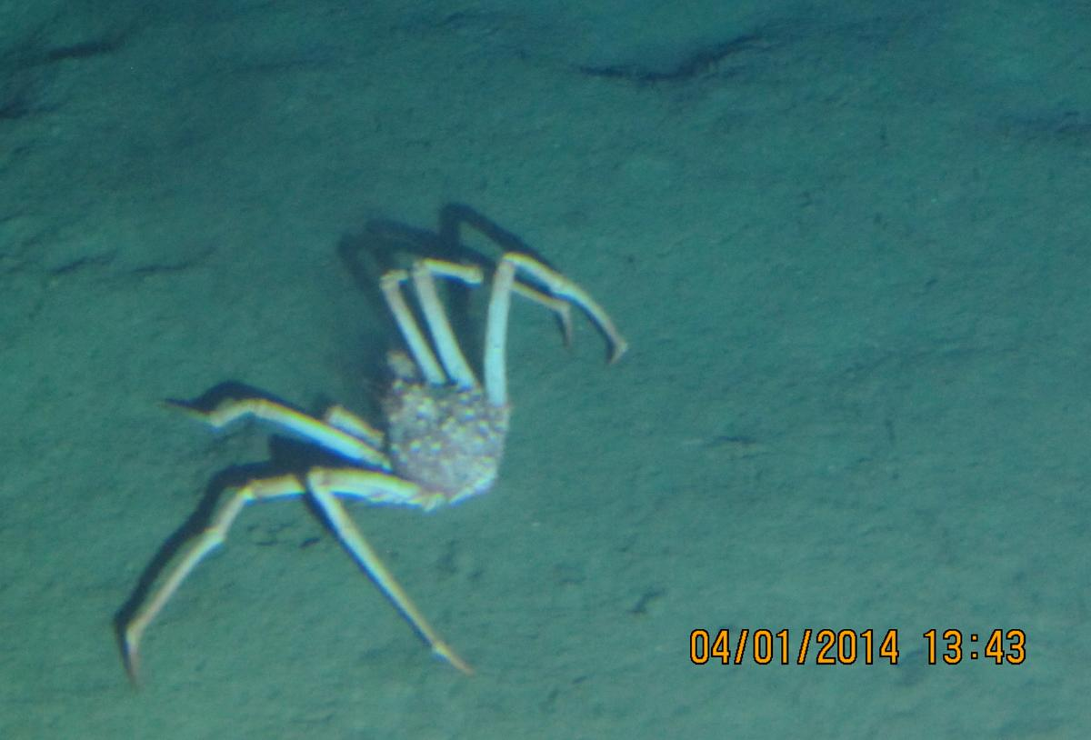 OC26_spider_crab_web.jpg