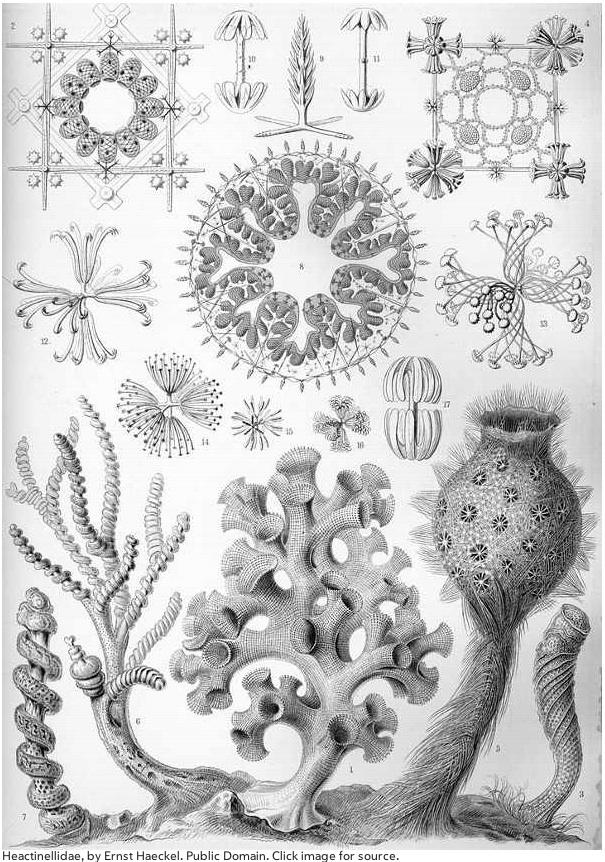 6-Haeckel Glass Sponge.jpg