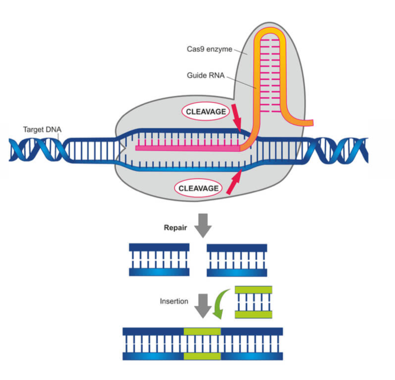 Figure showing the Cas9 enzyme in action. ( www.labiotech.eu )