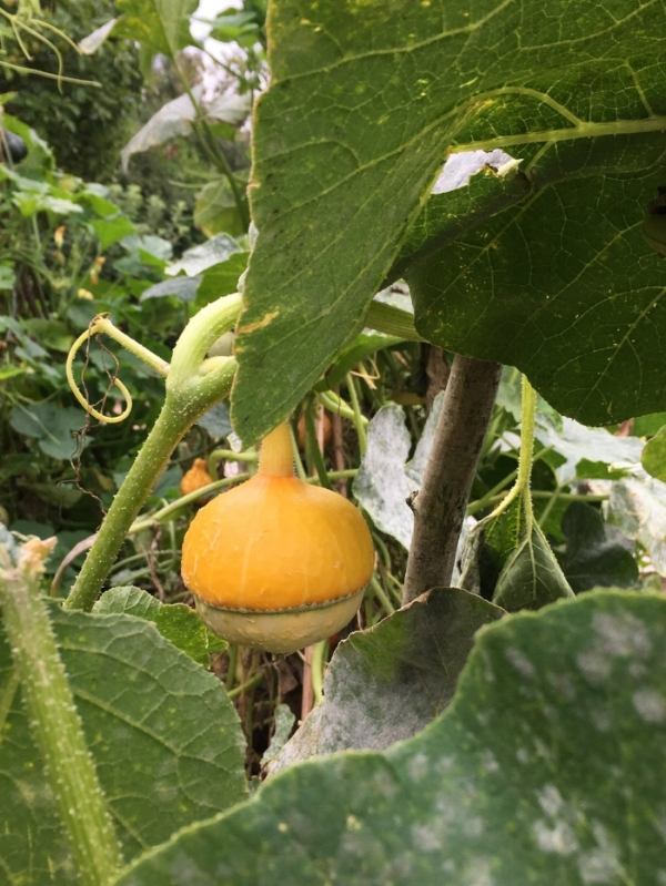 Spotted this gourd growing on the veg patch at Standen House National Trust.