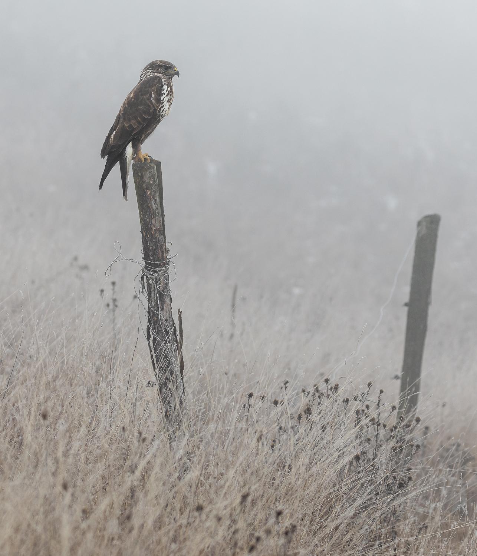 common buzzard, slovakia