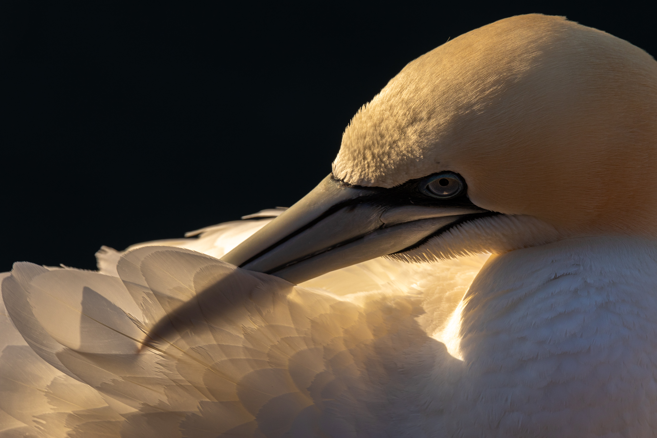 gannet preening at troup head