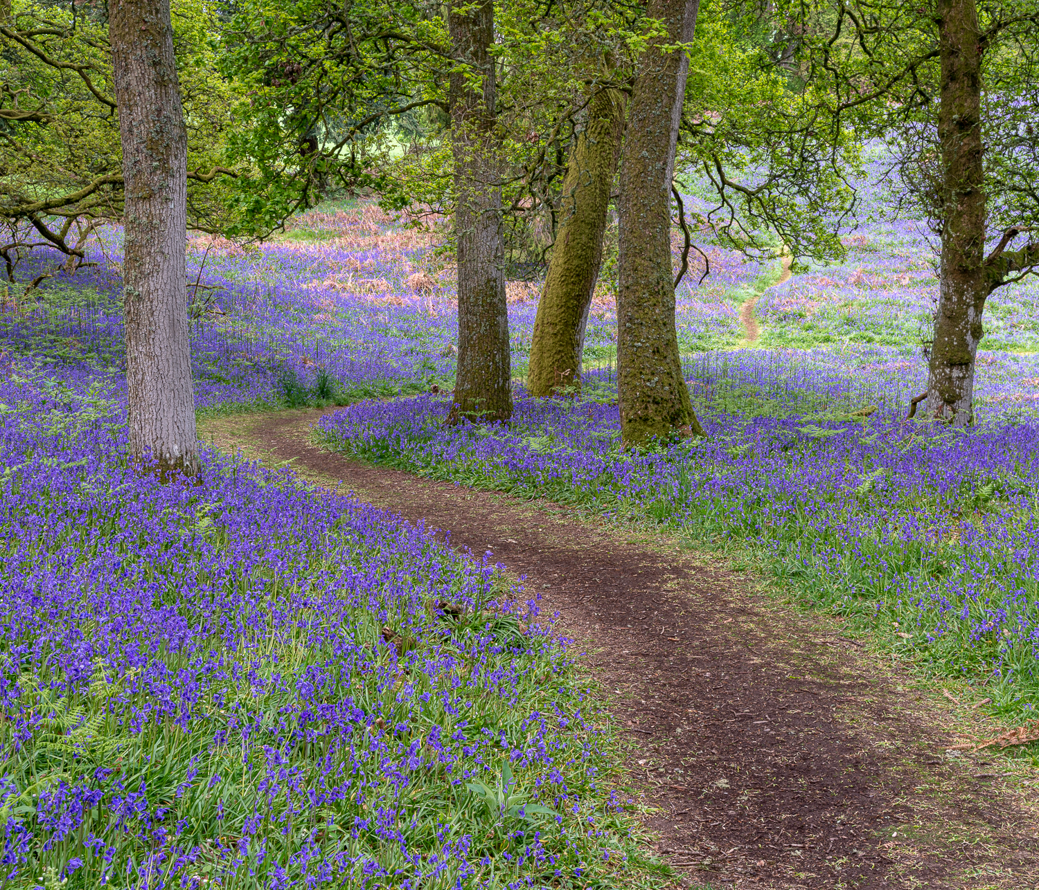 Bluebell wood, Kinclaven