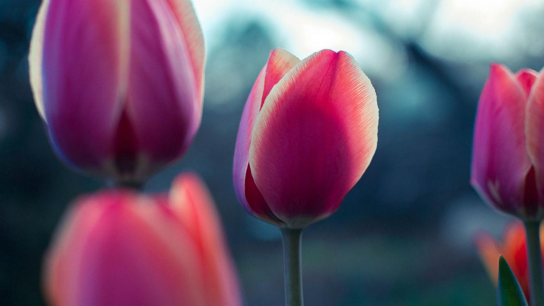 Tulips_Banner_1500.jpg