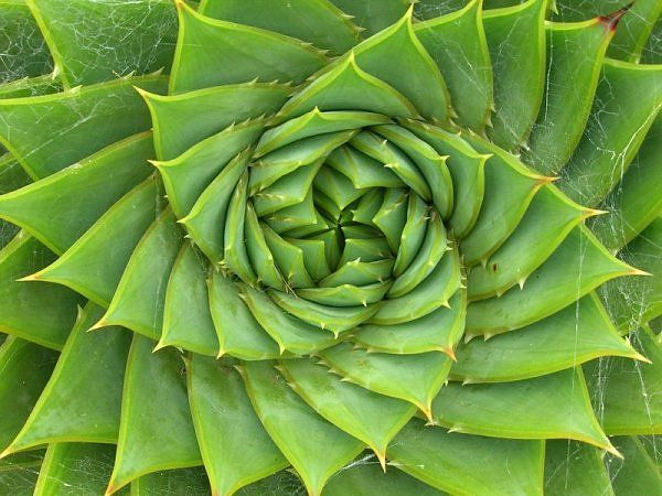 Here is the golden mean on a plant. You can see the swirl.