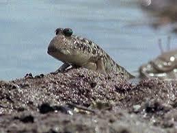 A moody Mudskipper in mud