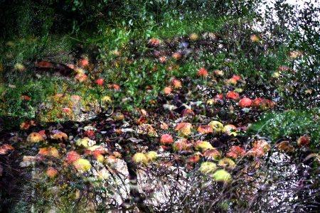 bramley-apple-in-orchard1.jpg