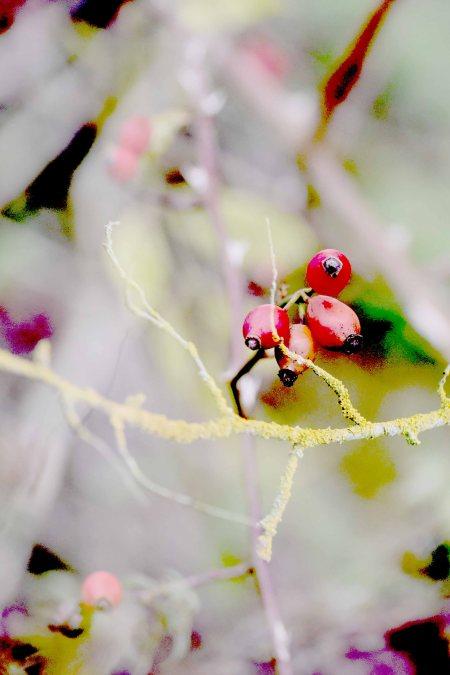 lichen-and-rosehip.jpg