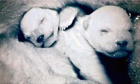 frozen-planet-polar-bears-007-2.jpg
