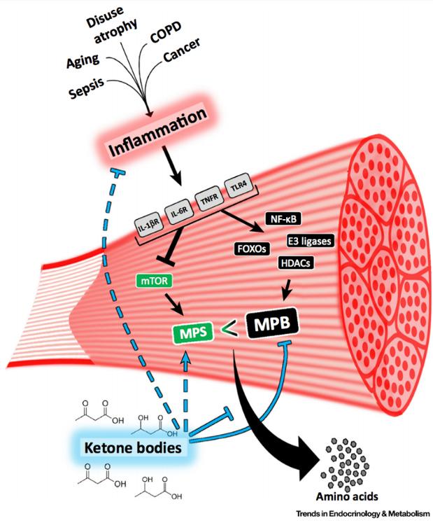 Muscle Ketones.jpg
