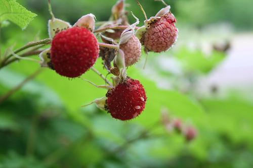 thimbleberries.jpg