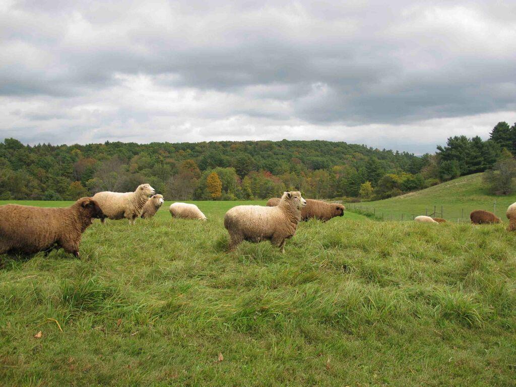 Sheeps milk cheese
