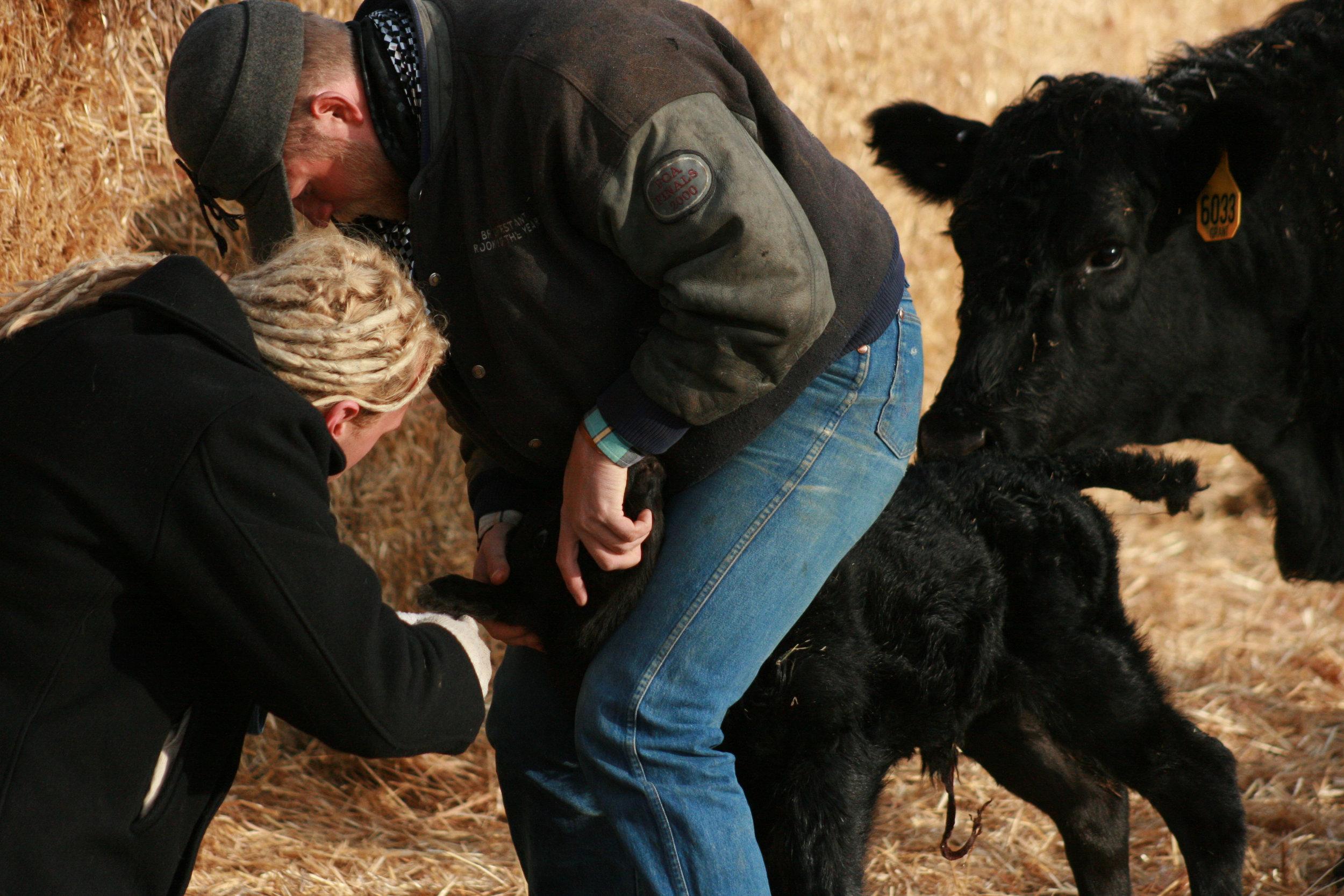 Week 48 - tagging a calf.jpg