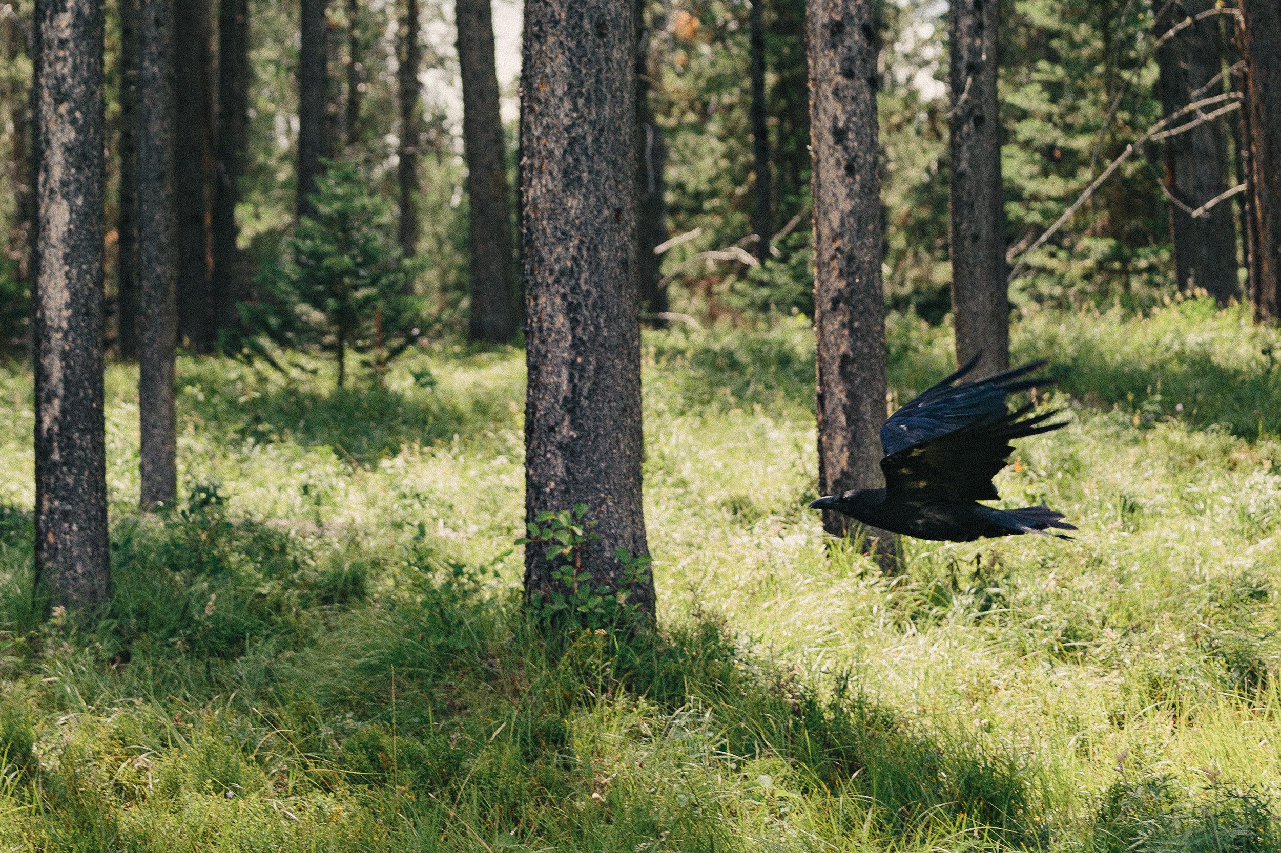 raven-1.jpg