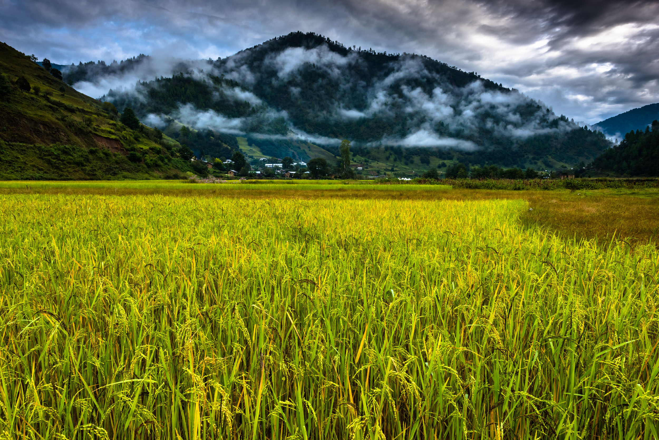 Paddy fields in Sangti Valley
