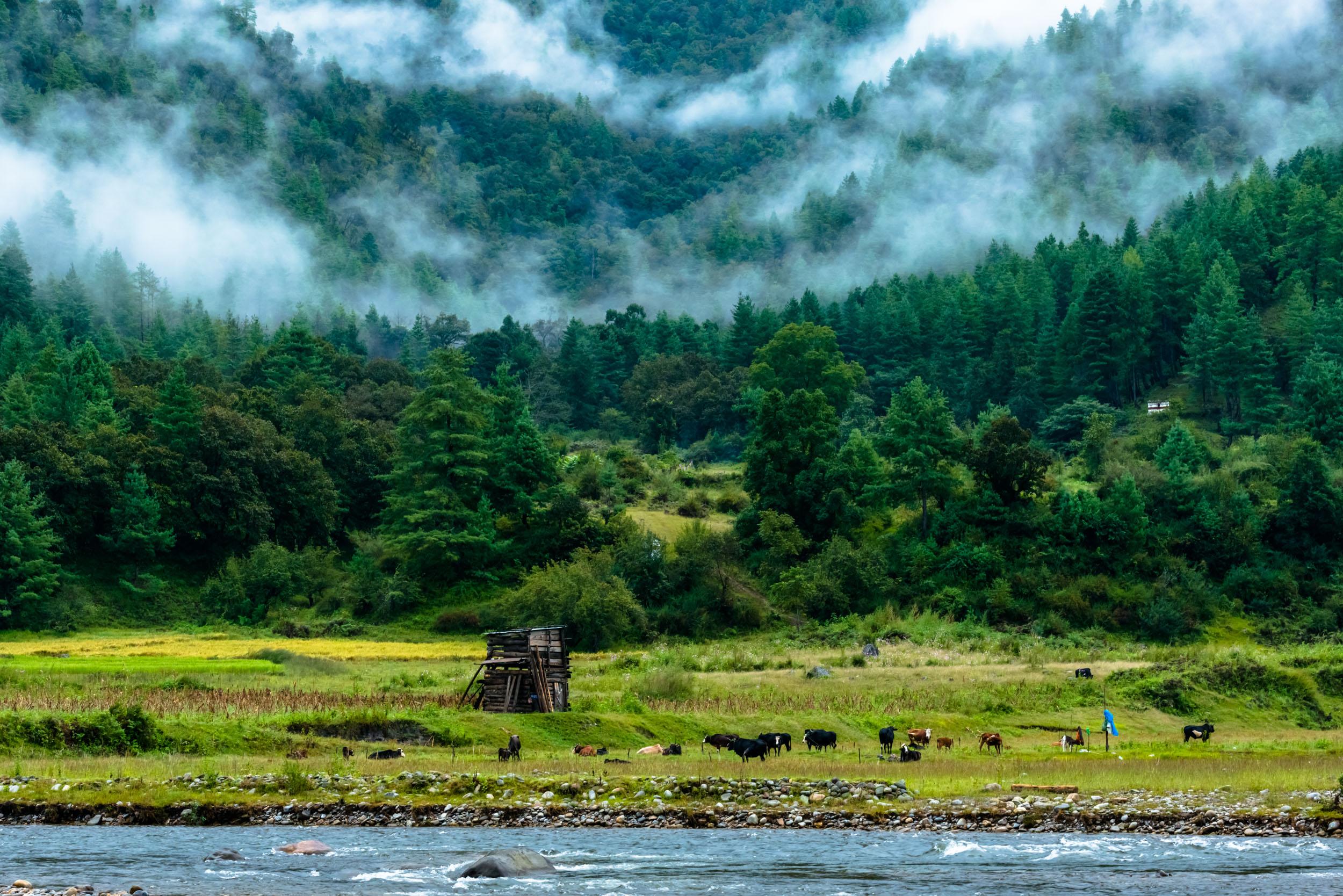 Cattle beside streams