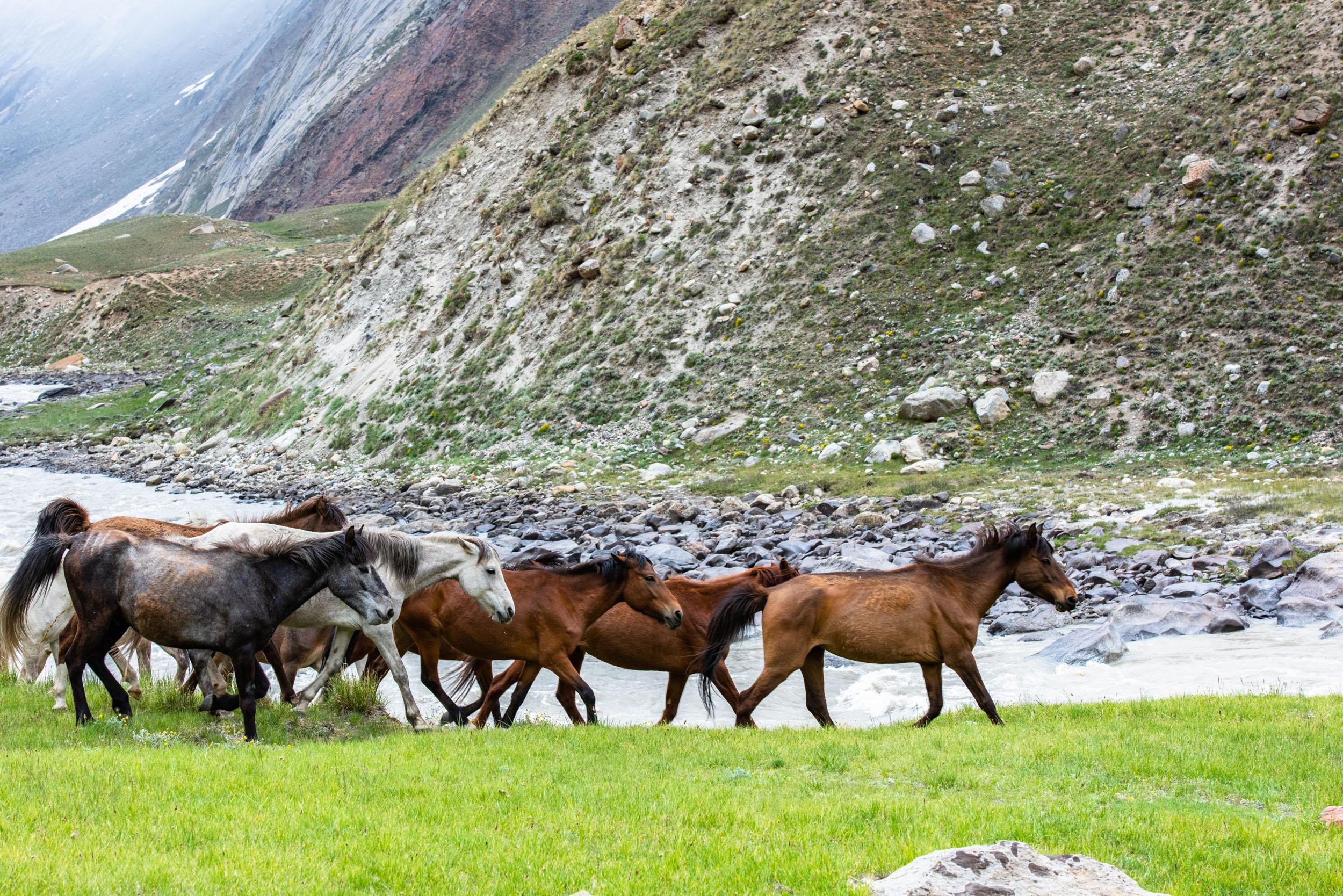 Wild Horses in Suru Valley