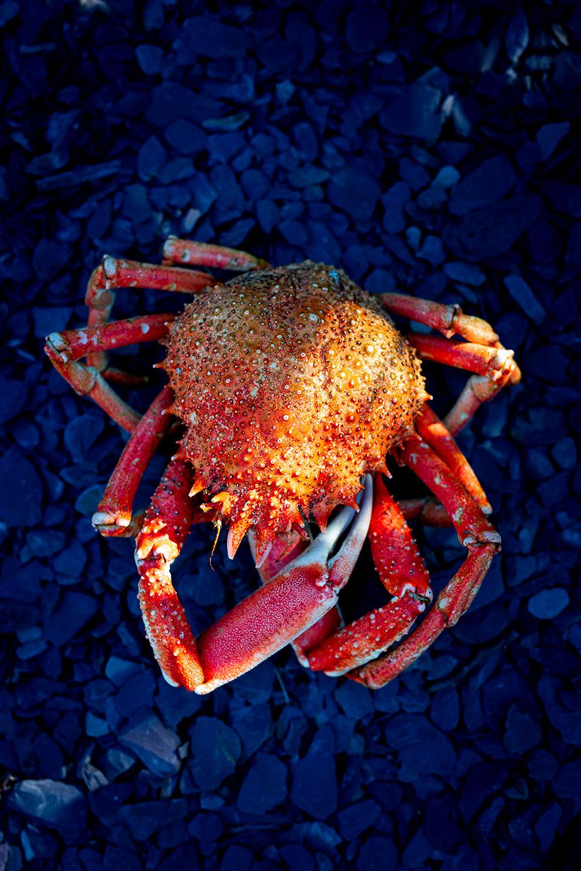 Spider Crab Guernsey