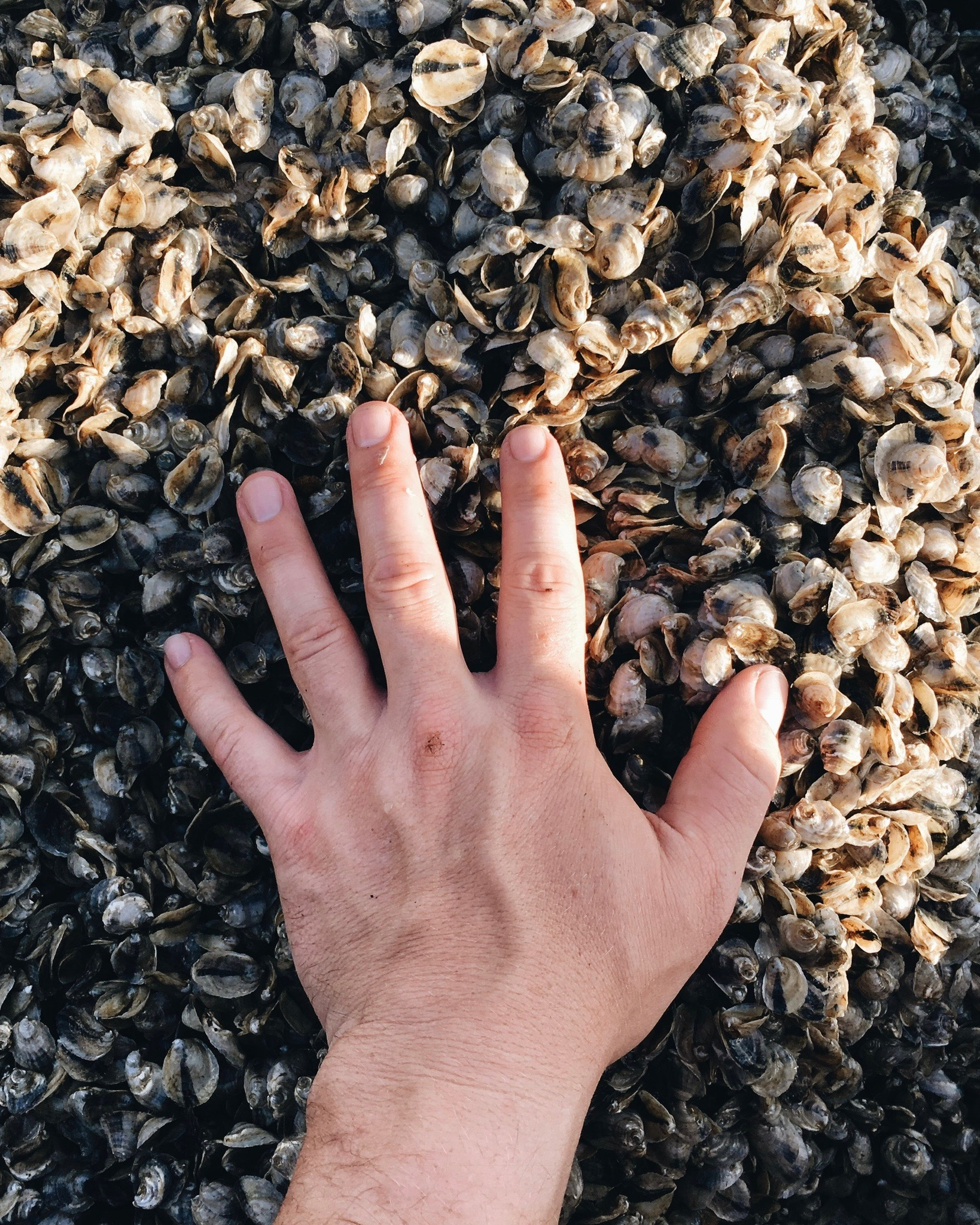 FLO-RIDAS -  Our spat continues to grow as they ride the waves inside of the bags. The shells are hand tumbled and sorted according to size as they grow. this process can take between 6 months to 1.5 years.
