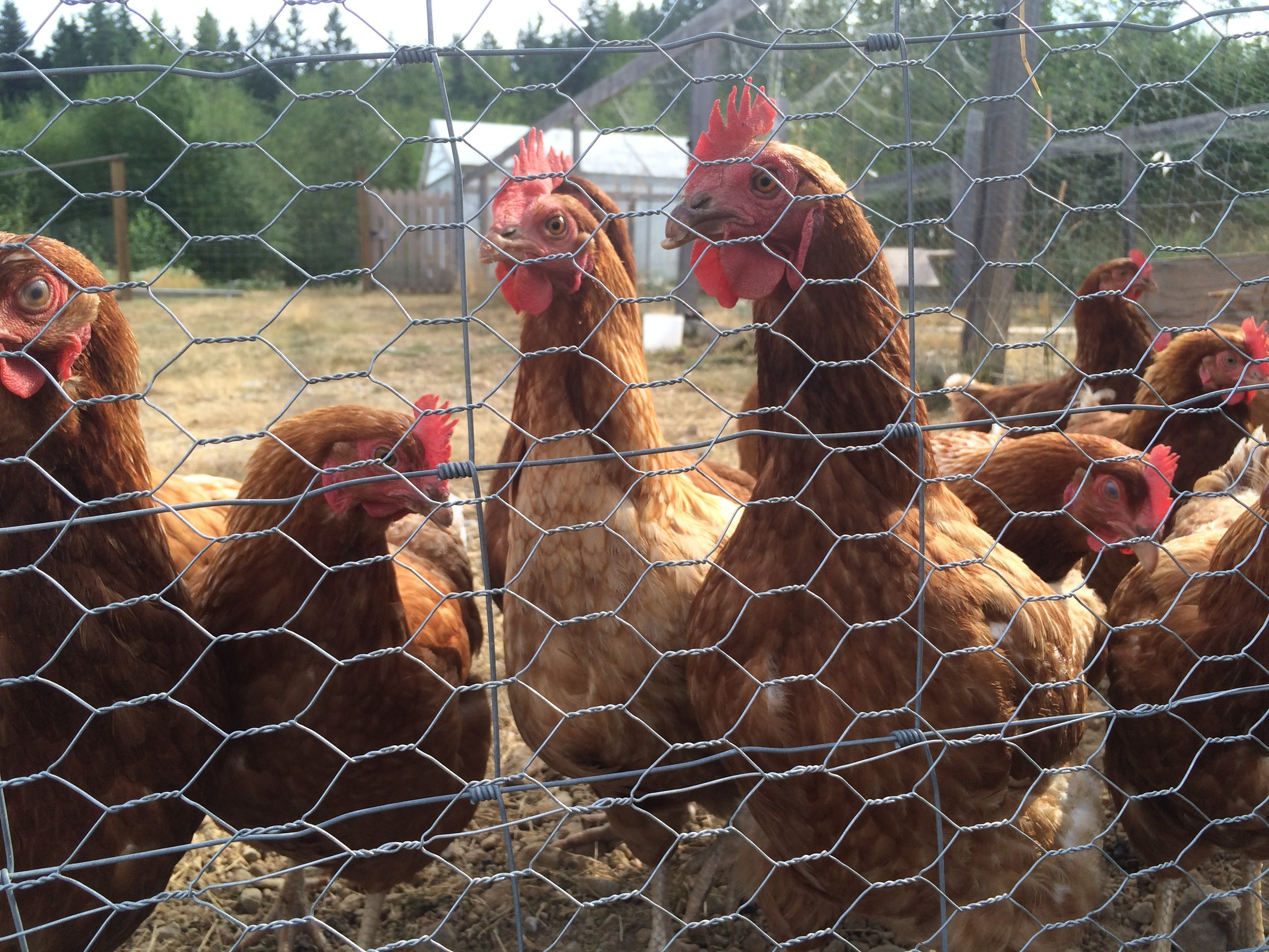 Henny Penny and the girls portrait, Sunshine Coast, BC