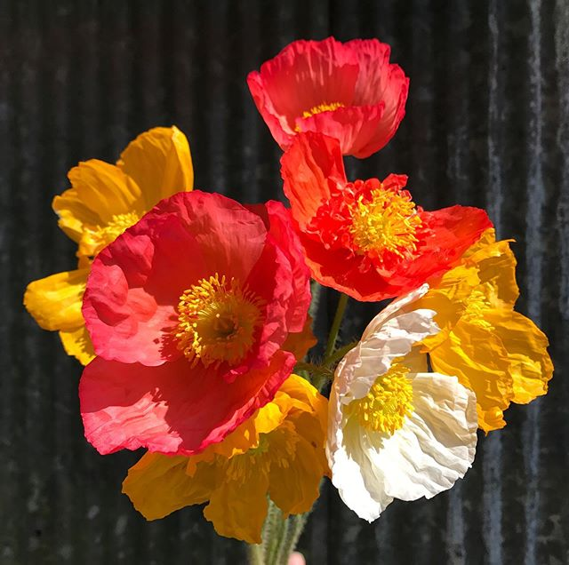 My first time growing Icelandic poppies! They produce such vibrant colors! Don't forget to stop by today @paintedhousetn for fresh flowers from 3-5!