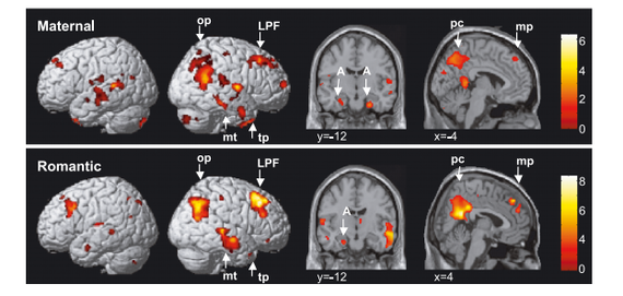 The neural correlates of maternal and romantic love , 2003 (University College London)