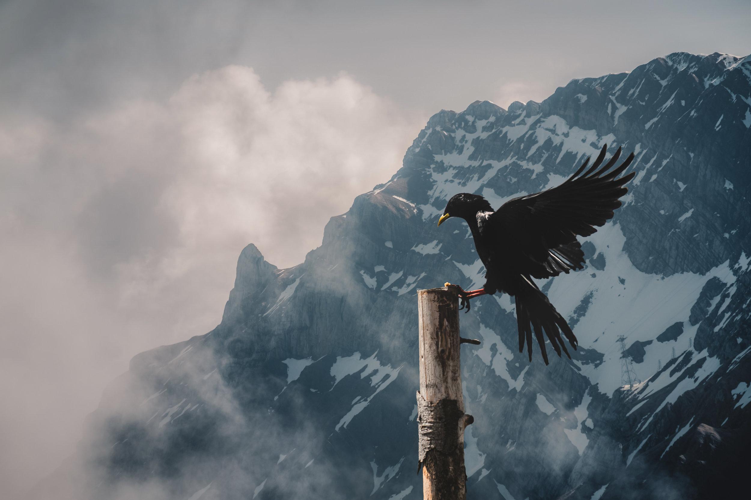 Alpendohle [Pyrrhocorax graculus] | Appenzell, Switzerland