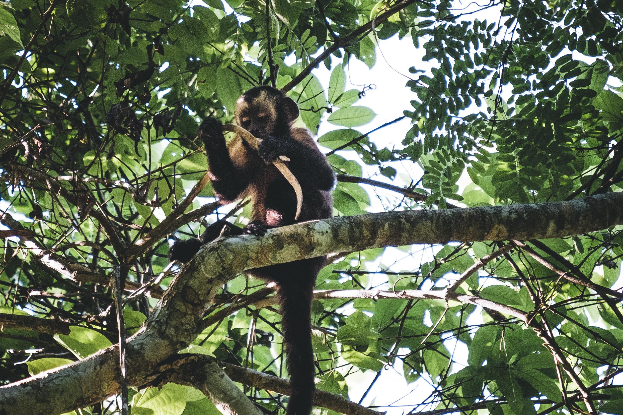 Peru capuchin [ Cebus cuscinus ] | Tambopata national reserve