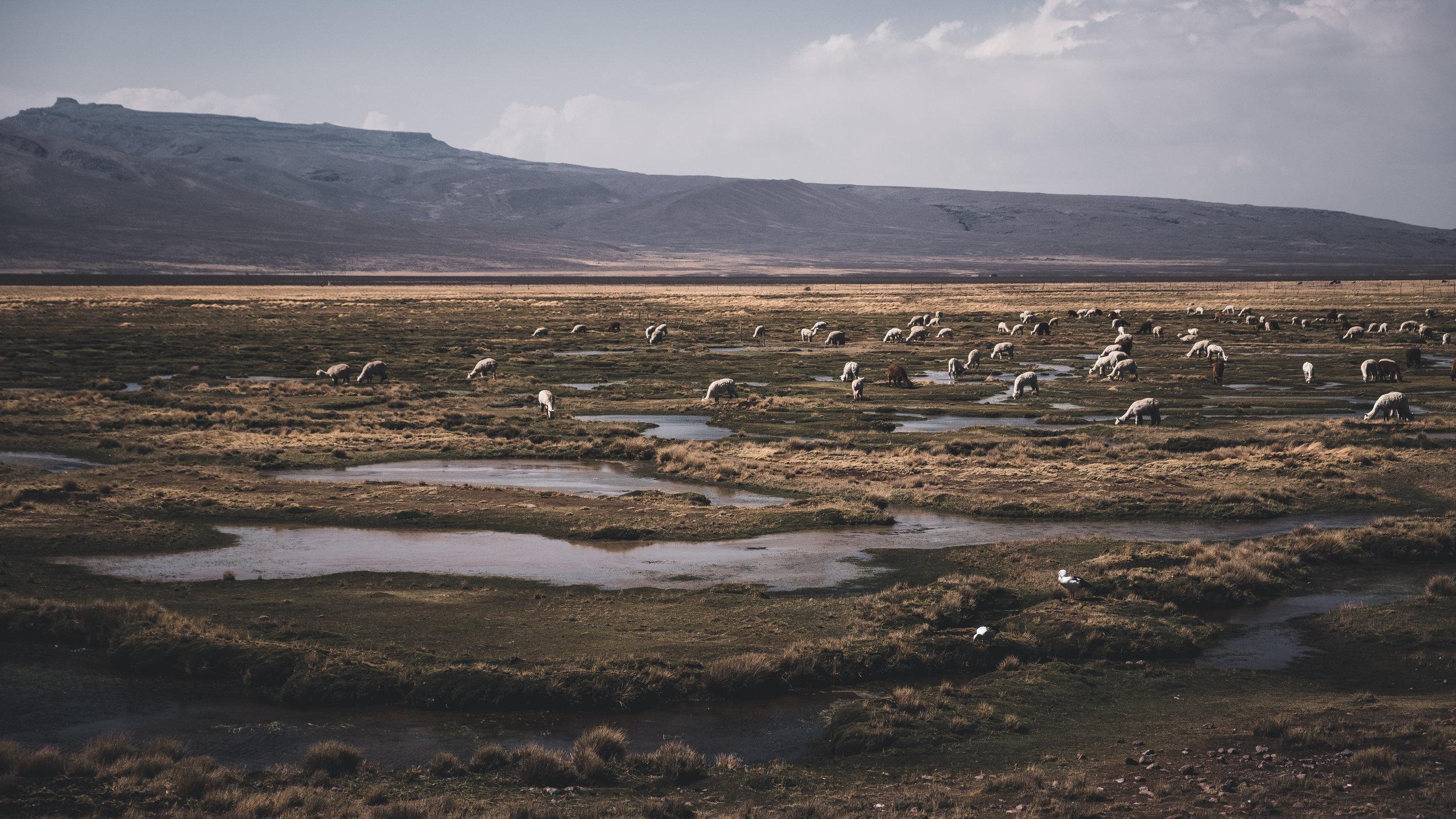 Alpacas in the peruvian highlands | Arequipa