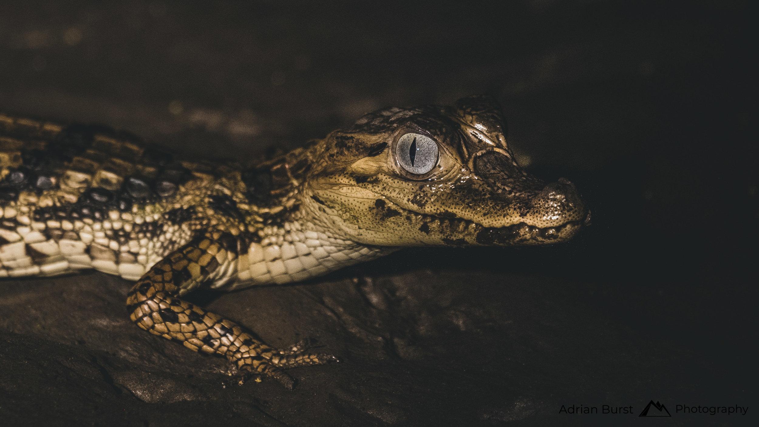 147 | Black caiman, Tambopata national reserve