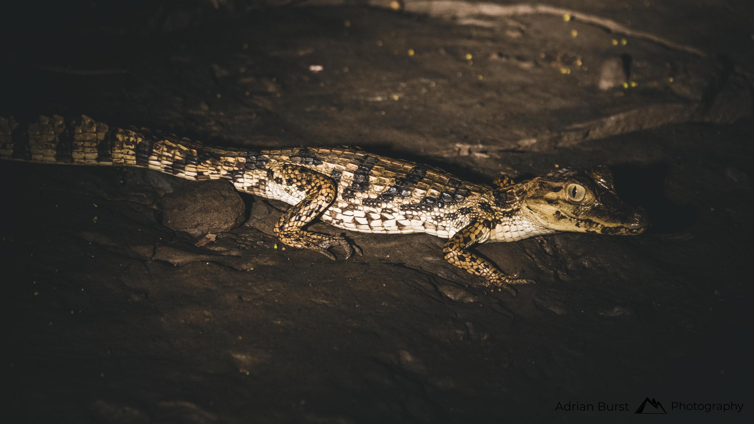 145 | Black caiman, Tambopata national reserve