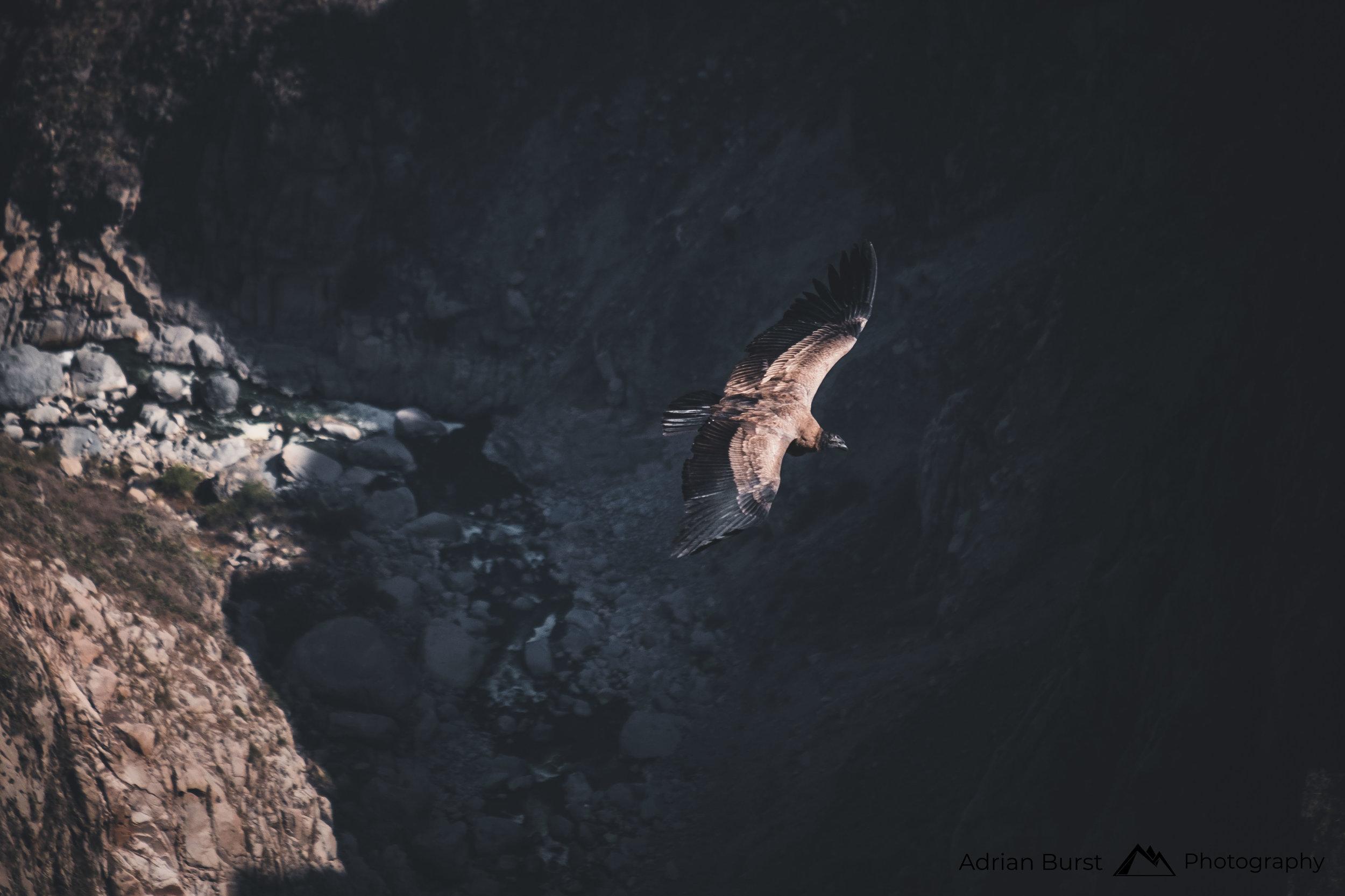 120 | Andean Condor, Cola Canyon, Chivay