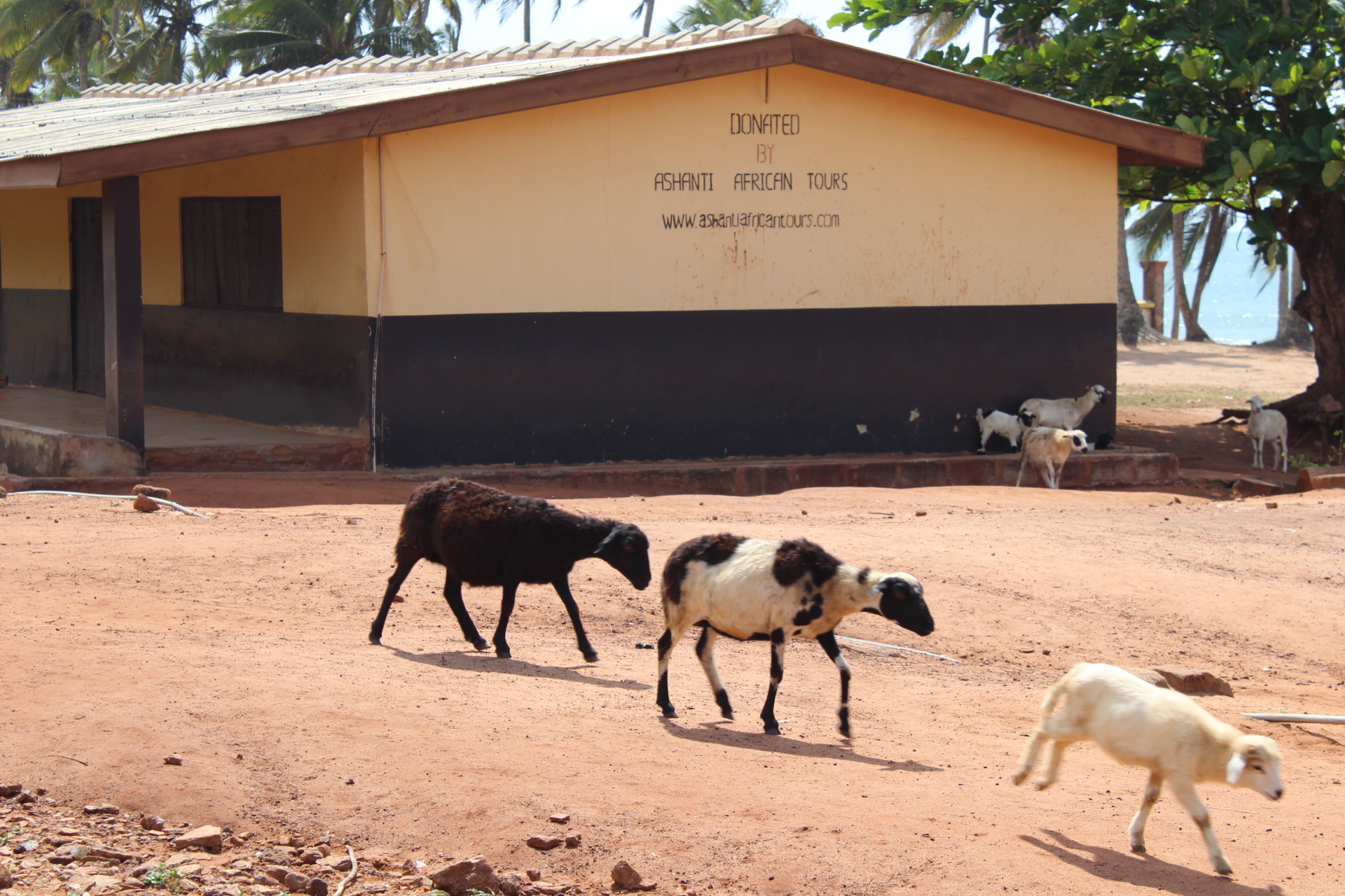 Visiting one of the schools in a village near Elmina that Ashanti African Tours built. Wild goats are a common site in Ghana.