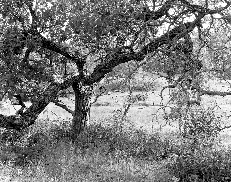 Helen Allison Savanna (MN) Steadfast Bur Oak, July 2010
