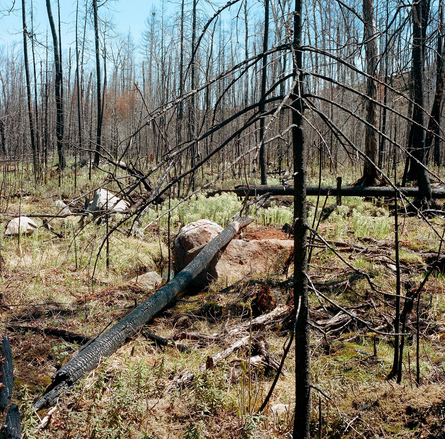 Burned Poor Conifer Swamp with Sweet Coltsfoot blooms