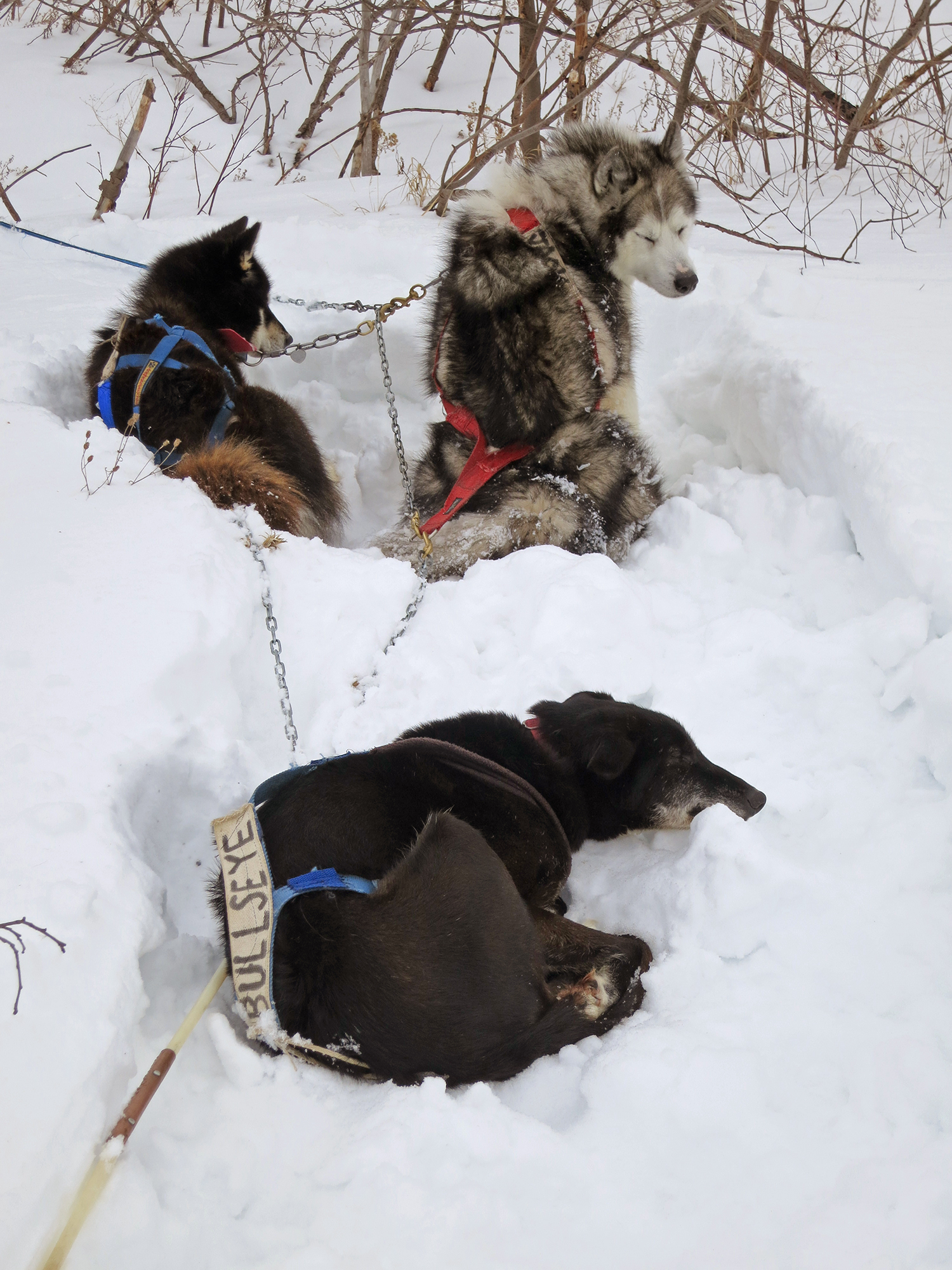 Sled dogs chilling out in a snow bank